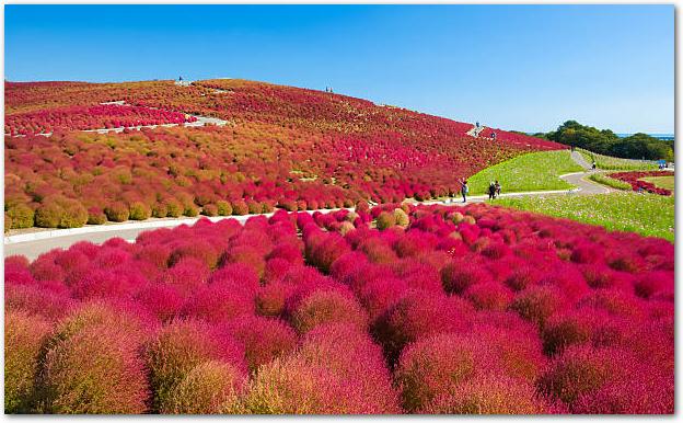 茨城県日立海浜公園で秋のシーズンの美しいコキア丘